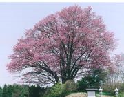 地蔵久保のオオヤマザクラ(長野県天然記念物)