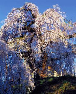 袖之山のシダレザクラ(長野県天然記念物)