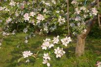 ニュートンりんご並木