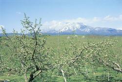 北信五岳道路沿いのリンゴ畑